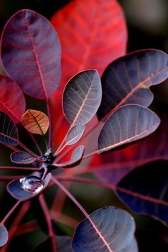Plant Profile: Cotinus coggygria 'Grace' by Scott Leung from Eckersley Garden Architecture