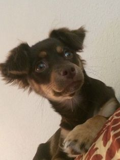 My Chloe. Cutest mutt ever! Chihuahua Australian Shepard mix!