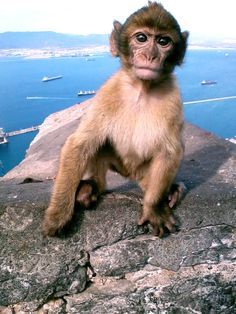Rock of Gibraltar Barbary Ape I had one of these jump on my back! They are very mischievious. Rock Of Gibraltar, Madrid, Barcelona, Spain And Portugal, Vacation Pictures, New Puppy, I Love Cats, Beautiful Creatures, Strand