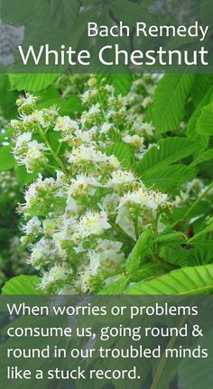 Bach Flower Remedy - White Chestnut. A *must have* remedy for modern man! Great one for insomnia too.