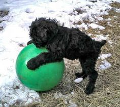 One day I will be the master of this ball.one day(Black Russian terrier puppy) Russian Dog Breeds, Russian Dogs, Big Dogs, I Love Dogs, Puppy Love, Terrier Dog Breeds, Terriers, Cute Puppies, Cute Dogs