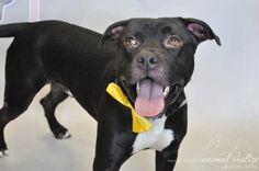 "Othello - URGENT - Town of Hempstead Animal Shelter in Wantagh, NY - ADOPT OR FOSTER - Adult Neutered Male Pit Bull - Sad and nervous to be here! Othello is housetrained and crate trained. He knows the commands: ""sit"", ""stay"", ""down"" and ""come"". Othello is used to living in an active home with children. He is friendly and playful with kids, but wary of new people. His favorite activities are running and playing. He also really like other dogs and is uninterested in cats!"