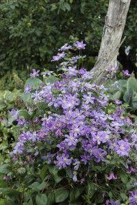 Tiukukärhö Arabella on tullut lyhyessä ajassa yhdeksi maailman arvostetuimmista kärhöistä. Matala lajike polveutuu ruohovartisesta kellokärhöstä ja isokukkaisesta jalokärhöstä. 'Arabella' kukkii heinä–elokuun vaihteesta syksyyn. Suuret violetinsiniset kukat.