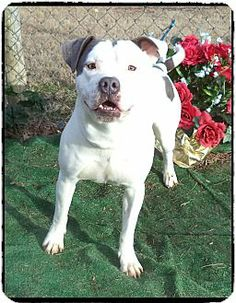 Marietta, GA - Pit Bull Terrier Mix. Meet WELLINGTON a Dog for Adoption.