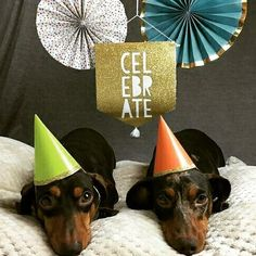 What do you mean your birthday was yesterday? - - Credits: @hans.and.karl Don't forget to follow @sausagedoglove if you liked the post! To be featured tag me on your picture! - - #sausagedoglove #sausagedogpuppy #dachshund #dachshundsofinstagram #dachshundoftheday #dachshundlove #dachshundappreciation #dachshundpuppy #doxie #doxielove #doxiefever #doxiesofinstagram #teckel #dackel #salchicha #bassotto #miniaturedachshund #minidachshund #weinerdog #dappledachshund