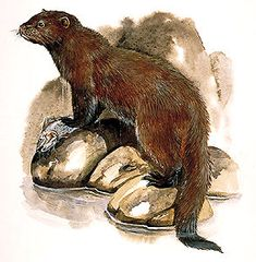 Sea Mink, hunted to extinction for its fur