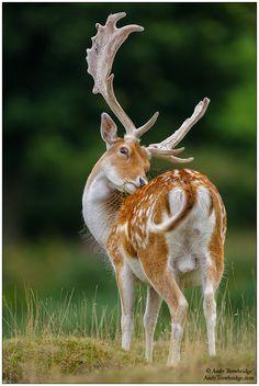 Fallow_Deer_0052.jpg (610×910)
