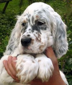 english setter pup-maybe Charlie needs a new friend:) Cute Puppies, Cute Dogs, Dogs And Puppies, Doggies, Corgi Puppies, Spaniel Puppies, Animals And Pets, Baby Animals, Cute Animals