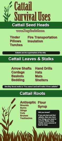 Survival Uses for Cattails - Preparing For SHTF