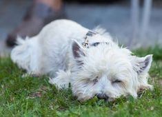 Have a restful weekend! Terrier Dog Breeds, Terriers, West Highland White, White Terrier, Dog Photography, Animals, Instagram, Switzerland, Animaux