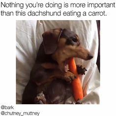 Dachshund Dog Meme – Pets and Supplies Dachshund Funny, Dachshund Puppies, Weenie Dogs, Dachshund Love, Cute Dogs And Puppies, Funny Dogs, Funny Puppies, Doggies, Pomsky Puppies