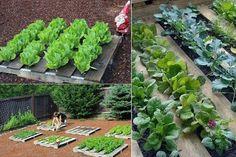 veggies grown in pallets