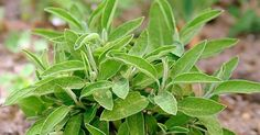 Sage: against gray hair, for healthy teeth and much more - All About Hairstyles