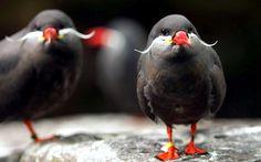 Inca Tern インカアジサシ