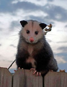 Excellent photo of an opossum sitting on a fence. Jeff Levine