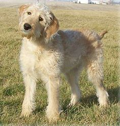 Riverbend Labradoodles / Welcome !