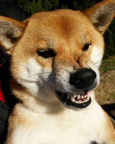 #dog #dogs #shiba #shibainu #shibas #cutedog @tooomooo0