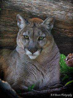 Panther by B A Bowen Photography, via Flickr; Homosassa Springs Wildlife State Park, Citrus County, Florida