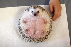 Which is kind of a lot of the time. | 40 Things We Learned At The Hedgehog Convention