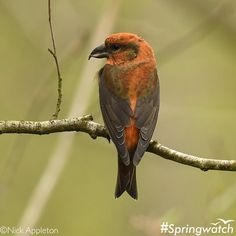 This beautiful bird is a male crossbill. They have specially adapted beaks to prise open pinecones for the seeds inside