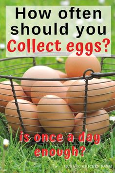 How often should you collect hens eggs from the nest box? Is once a day enough or should you collect eggs from the chicken coop several times each day? Does your flock of backyard chickens expect you to take their eggs? What happens if you don't collect eggs often enough? Raising Backyard Chickens, Pet Chickens, Fresh Chicken, Chicken Eggs, Storing Eggs, Egg Incubator, Guinea Fowl, Coops, Hens