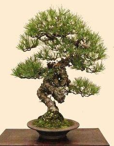 Japanese red pine, Pinus densiflora