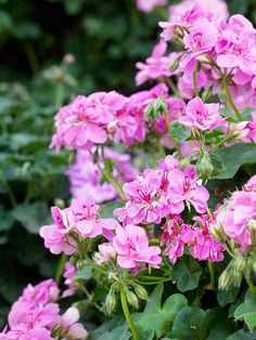 185 best pink geraniums images on pinterest in 2018 geraniums more geraniums love flowers spring flowers flowers garden flower gardening container gardening mightylinksfo