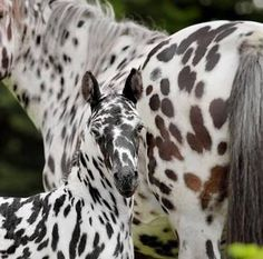 Appaloosa beauties  |  We love all things equestrian and TodaysEquine.net.