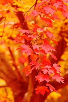 Red And Yellow Autumn... What a sampling of trees might look like in the Ozarks #fallcolors #leaves