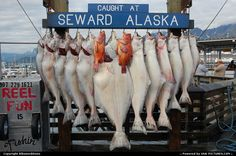 This is the goal of our fishing trip out of Seward, Alaska. But...we've never caught this many and most of what we caught were in the 35-40 pound range...except for one big one over a hundred pounds caught by my son. Stay tuned.