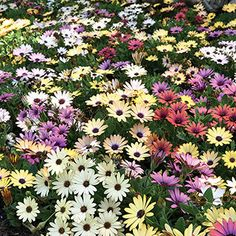 Osteospermum Akila Grand Canyon Mix will fill your garden with unparalleled color. Grow them today! Bloom, Plants, Garden, Plant List, Flowers, Drought Tolerant Plants, Hobby Farms