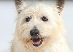 Adopt Toca, a lovely 12 years 4 months Dog available for adoption at Petango.com. Toca is a Terrier, West Highland White and is available at the National Mill Dog Rescue in Colorado Springs, Co. www.milldogrescue... #adoptdontshop #puppymilldog #rescue #adoptyourfriendtoday