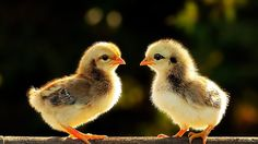 Cute Chicken: 84 thousand results found on Yandex.Images
