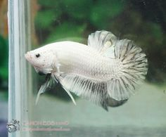 Silver Dragonscale Plakat #betta #fish #plakat
