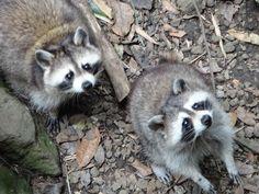racoons, Parc des mamelles, Guadeloupe 2012