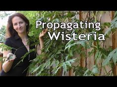 Learn how to grow wisteria in a pot. Our post shows you how to propagate and has a video tutorial to step you through process. You'll love all the ideas. Garden Shrubs, Garden Planters, Fruit Garden, Potted Garden, Wisteria How To Grow, Wisteria Bonsai, Wisteria Garden, Home Vegetable Garden, Carnivorous Plants