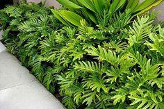 Philodendron Xanadu is a tough, low maintenance and versatile plant. - Philodendron Xanadu is a tough, low maintenance and versatile plant. Widely used in Tropical garden - Small Tropical Gardens, Tropical Garden Design, Tropical Landscaping, Small Garden Design, Landscaping Plants, Front Yard Landscaping, Tropical Backyard, Tropical Plants, Landscaping Ideas