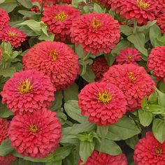 Zinnias - one of my favorite flowers.
