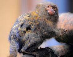 Todos os tamanhos   Pygmy Marmoset (Cebuella pygmaea)   Flickr – Compartilhamento de fotos!