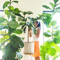 Grow beautiful Fiddle Leaf Fig trees easily using 5 essential care tips tricks on fertilizer soil water temperature pest control some pro secrets A Piece of Rainbow i. Christmas Planters, Christmas Porch, Outdoor Christmas Decorations, Christmas Centerpieces, Christmas Wreaths, Christmas Crafts, Mason Jar Crafts, Mason Jar Diy, Fiddle Leaf Fig Tree
