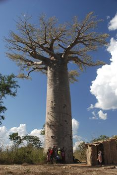 somewhere in the South West of Madagascar a huge grandidieri
