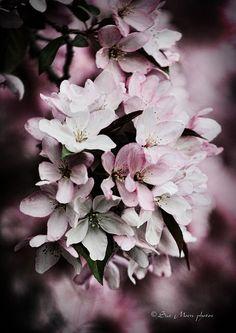 Apple Blossoms in Monticello, WI