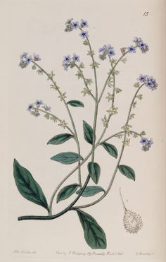 Belles fleurs - Belles fleurs 043 Cynoglossum glochidarium - Burry Houndstongue - Gravures, illustrations, dessins, images