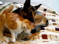 11 year old kitty, Clyde, was lost for 12 days. Clyde made certain Triton, the German Shepherd understand just how much he loved and missed him Read more at http://love.theanimalrescuesite.com/missing-kitty-doggy-reunite/#MFe7toURtpEVirYm.99