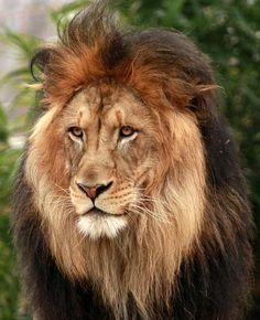 Luke the Lion at National Zoo: Photo by Photographer Hem Tripathi - photo.net