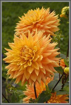 Dahlia 'Wyn's Aztec Gold'