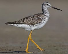 greater yellowlegs - Google Search  4-11-13