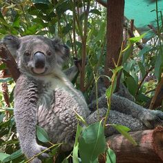 """""""""""Make sure my legs are in the shot, they're my best feature..."""" - BoBo the #koala at has a lot of…"""""""