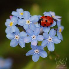 Die zarten Blüten des Vergißmeinicht und das süße Marienkäferchen sehen sooo .... niedlich zusammen aus.