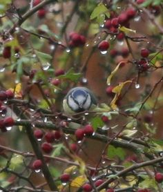 Raindrops are falling on my blue tit head